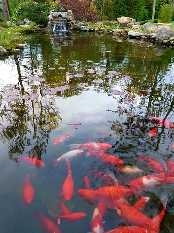 Water Reflection Nature Day Koi Carp Swimming Outdoors Animal Themes Animals In The Wild No People Beauty In Nature Close-up Fish Plants 🌱 Nature_collection Nature Photography Pond Pond Life Pond Reflections Water Reflections Water_collection Waterfall Nature Red Carp
