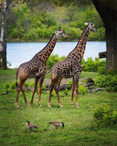 Animals In The Wild Tree Animal Wildlife Animal Themes Green Color Mammal No People Day Outdoors Nature Bird Grass Safari Animals Giraffe Giraffes Kansascityzoo Zoo