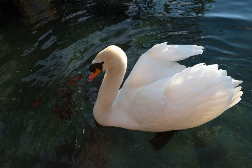 Castle of Abrantes Portugal Animal Themes Animal Wildlife Animals In The Wild Beak Bird Close-up Day Floating On Water Lake Nature No People One Animal Outdoors Swan Swimming Water Water Bird White Color