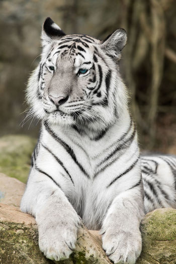 View of a tiger