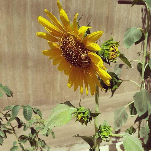. تا حالا چندتا گل آفتابگردان روی یه ساقه دیده بودید برای من که جدیده . . Flowers Helianthus_annuus Sun