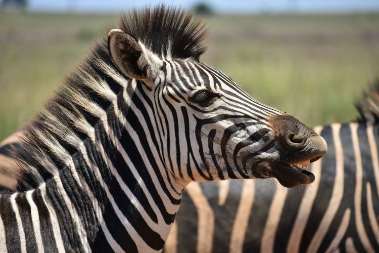 EyEmselect EyEm Selects Animal Wildlife Animals In The Wild Striped One Animal Zebra Mammal Side View Nature Day Safari Animals Close-up No People Outdoors Animal Themes