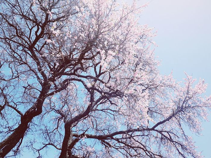 🌸Sacura Nature Day Sky Beauty In Nature No People Pink Blue Tree