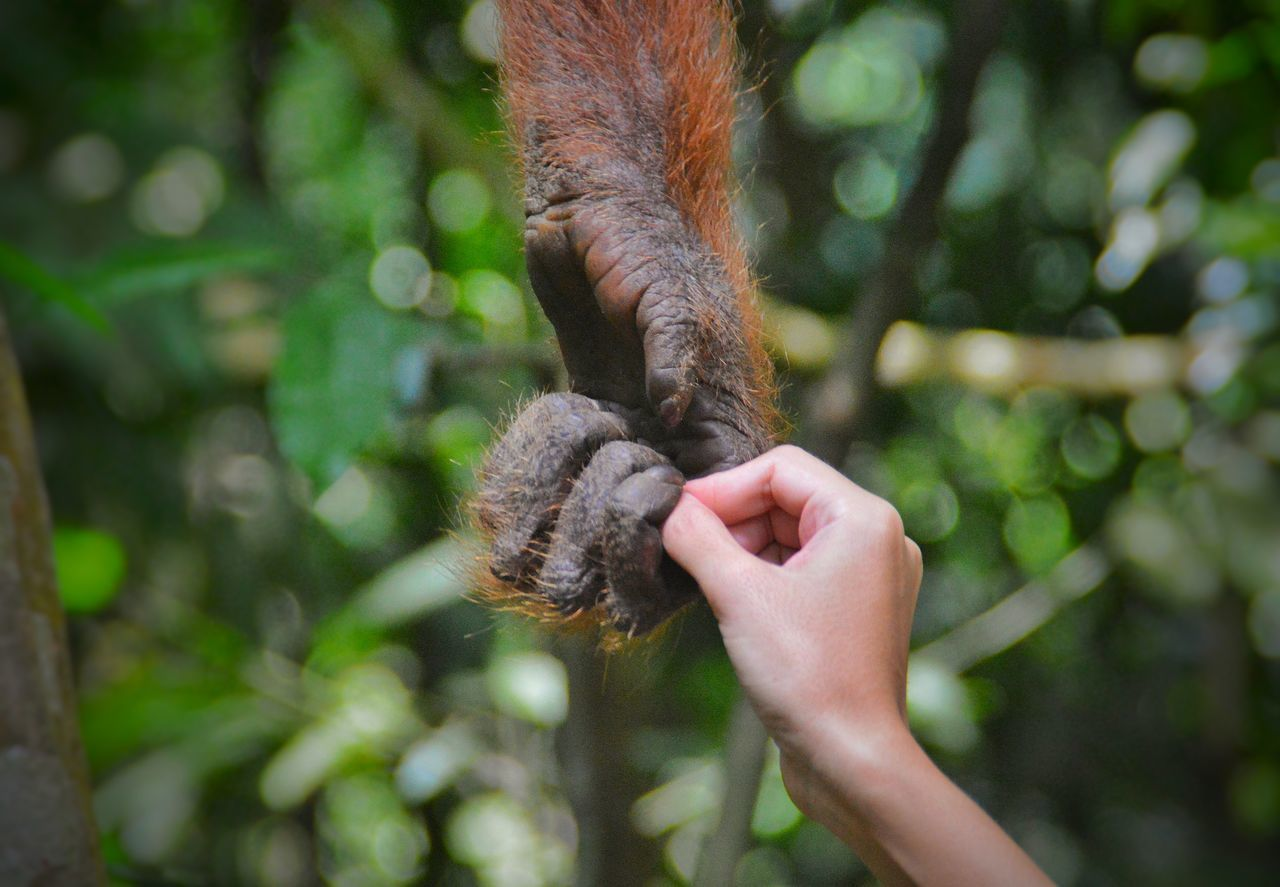 Animal Themes,  Animal Wildlife,  Animals In The Wild,  Bukit Lawang,  Chimpanzee