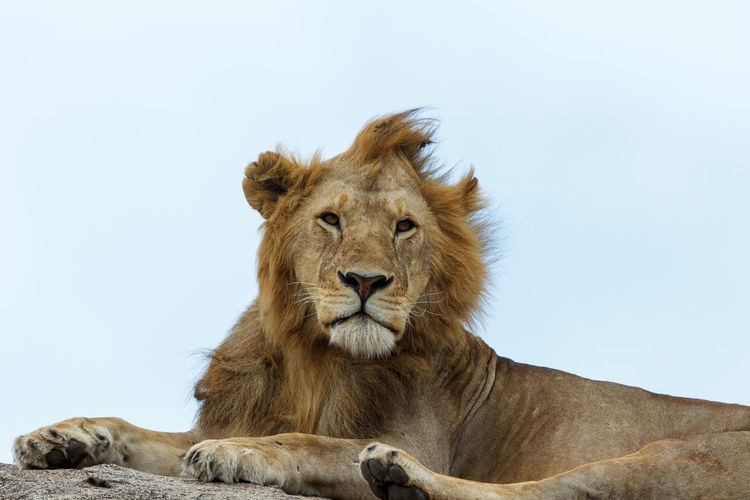 Lion looking away while lying on land
