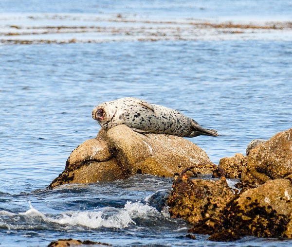 Seaseal on rock