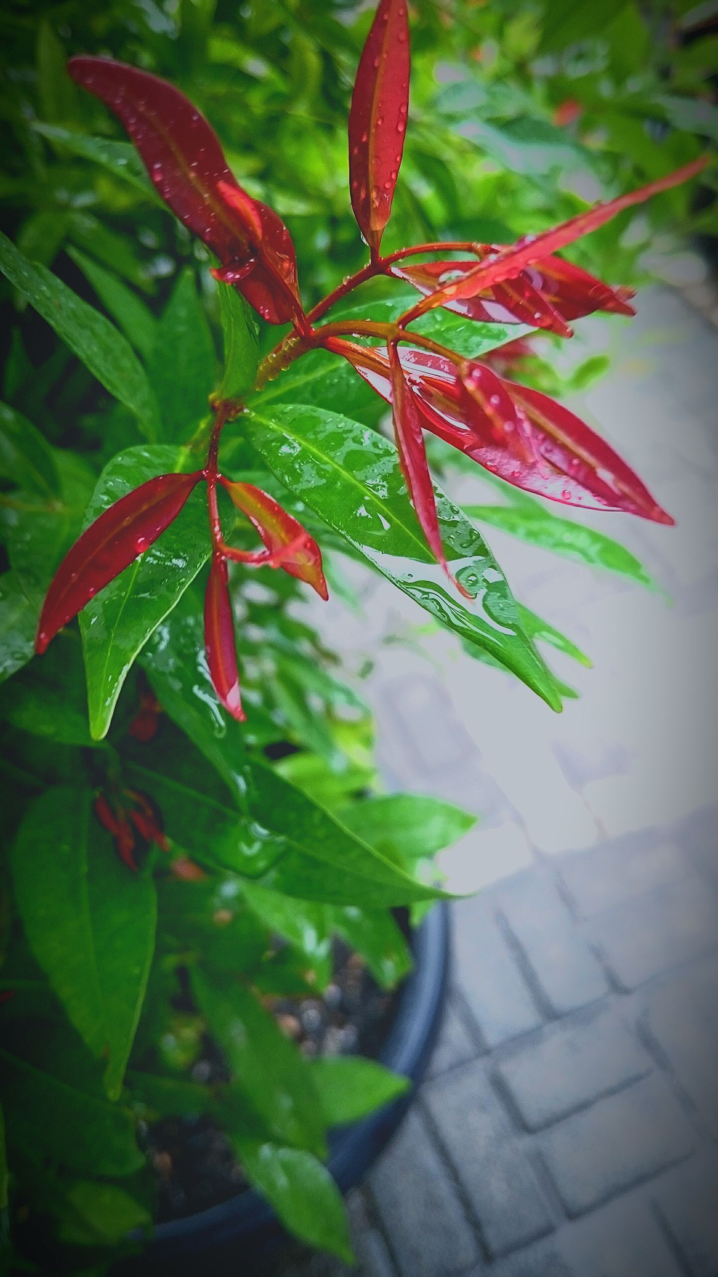 leaf, red, growth, plant, freshness, close-up, green color, nature, focus on foreground, beauty in nature, stem, growing, day, leaves, outdoors, no people, fragility, leaf vein, sunlight, botany
