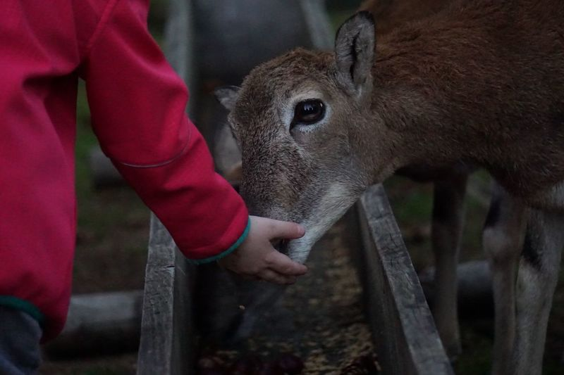 Cropped image of person touching calf by trough
