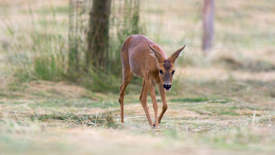 Roe Deer Pulling Rehgeiß Rehwild Tiere Wildlife & Nature Animal Wildlife Animals In The Wild Deer Grass Mammal Nature No People One Animal Outdoors Plant Reh Roe Deer Roe Deers Wild Wildtier