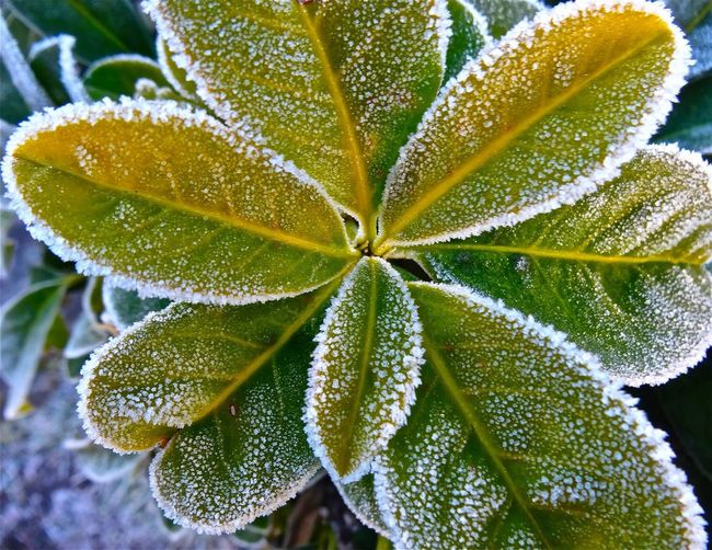 Plant covered in winter hoar frost