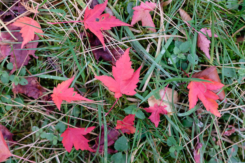 Red autumn leaves on ground Autumn Autumn Leaves Red Leaves Autumn Colours Beauty In Nature Close-up Day Field Flower Fragility Grass Growth Leaf Maple Leaves Nature No People Outdoors Plant