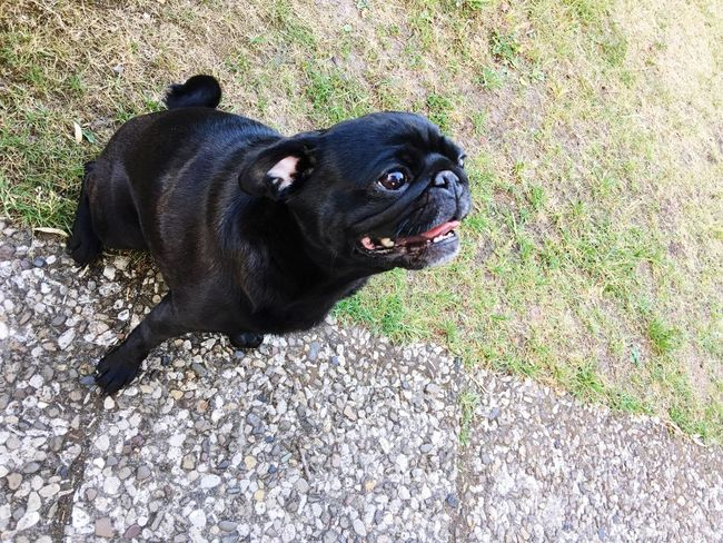 Sidewalk Grass Pug Pugdog One Animal Animal Themes Mammal Animal Dog Pets Canine Domestic High Angle View Black Color Looking Nature Sticking Out Tongue No People Day