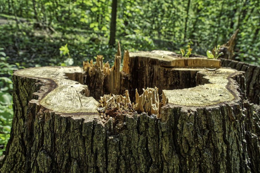 Baumstumpf Day Forest Forestry Industry Fossil Fuel Log Nature No People Outdoors Taking Photos Tree Stump Tree Trunk Wood - Material