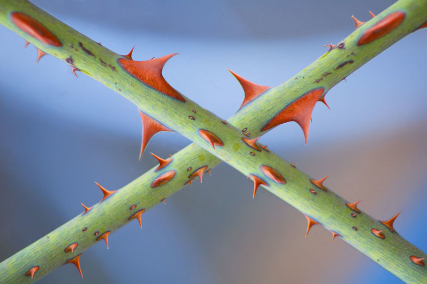 Red Thorns Beauty In Nature Close-up Day Focus On Foreground Green Color Growth Nature No People Outdoors Plant Plant Part Red Sharp Spiked Spiky Thorn