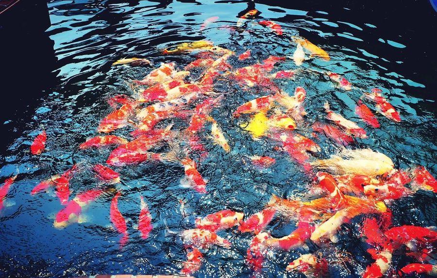 Fancy Carp Fish Lake View Hello World