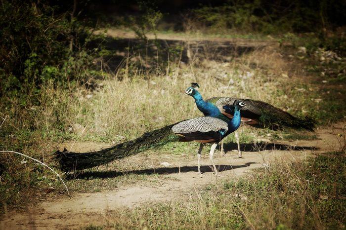 pfau sri lanks Animal Themes Animals In The Wild Bird Animal Wildlife Grass Day No People Nature Outdoors Sri Lanka Travel