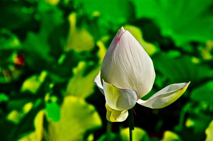 Subject : A Elegant Bud of a Lotus Growing in the Pond. beauty in Nature Nature flower lotus bud petal flower head white color Elégance leaf Green color Growth Freshness fragility day outdoors no people close-up focus on foreground . Taken at kurose in Higashi-Hiroshima , Japan on Aug. 13, 2017 ( Submitted on Aug. 21, 2017 ) Beauty In Nature Nature Flower Lotus Bud Petal Flower Head White Color Elégance Leaf Green Color Growth Freshness Fragility Day Outdoors No People Close-up Focus On Foreground Kurose Higashi-Hiroshima Japan