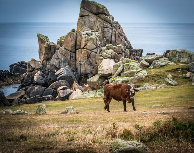 looking interested Bullock Animal Animal Themes Animal Wildlife Beauty In Nature Day Domestic Domestic Animals Full Length Herbivorous Horizon Over Water Land Mammal Nature No People One Animal Outdoors Pets Rock Rock - Object Sea Sky Solid Water