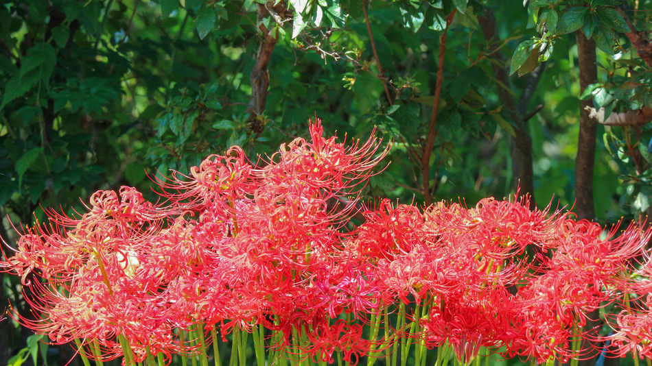 Japanese Red spider lily flower Higanbana Lycoris Radiata Beauty In Nature Blooming Blossom Day Flower Flower Head Fragility Freshness Green Color Growth Leaf Natural Condition Nature No People Outdoors Park Petal Plant Red Spider Lily