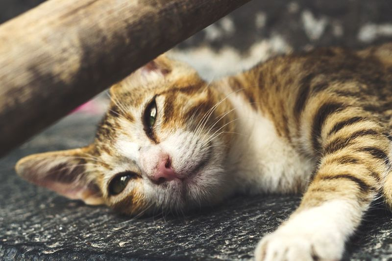 EyeEm Selects Domestic Cat Feline One Animal Lying Down Sleeping Pets Domestic Animals Animal Themes No People Mammal Indoors  Relaxation Day Looking At Camera Portrait Close-up Cats Cat Lovers Catsofinstagram Cats Of EyeEm Catoftheday Cat Photography