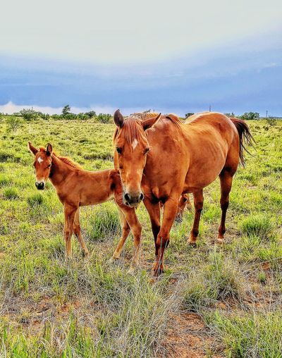 Ranch Horses Ranch Horse Equine Farm Texas Animal Themes Working Animal Agriculture Pasture Mane Cowboy Lifestyle Ranch Life Mare Colt Country Life Grass Summer Togetherness Sky Farm Animal Grassland Countryside Greenery Green Group Of Animals Livestock Tag Livestock Foal