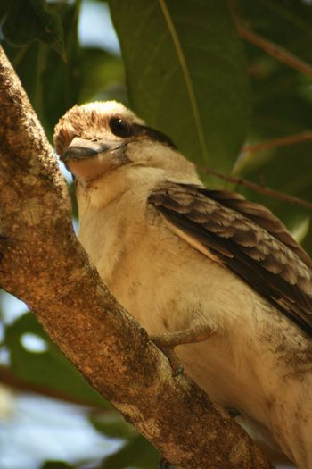 Canon Photography Australia Nature Photography Wildlife Photography Wildlife Bird Photography Kookaburra Animal Wildlife Animal Animals In The Wild Animal Themes Vertebrate One Animal Bird Branch Tree Focus On Foreground Close-up No People Plant Day Perching Nature Outdoors