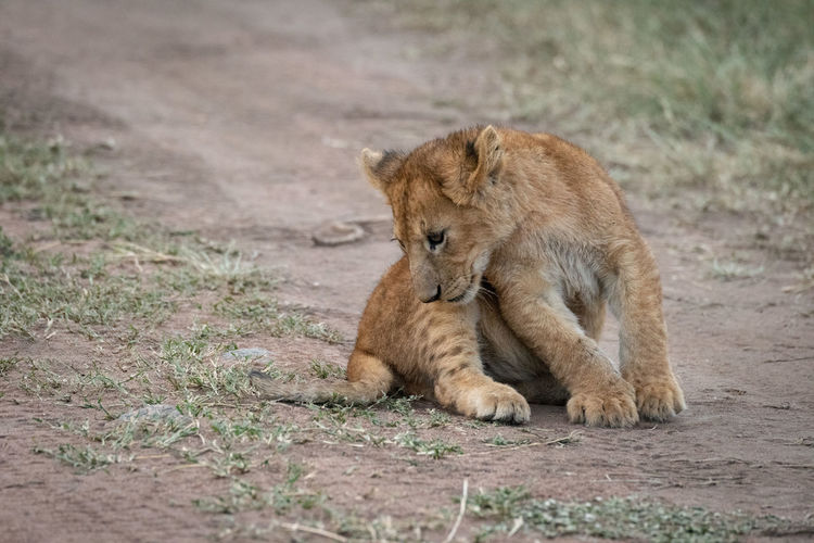 Lion relaxing on a land