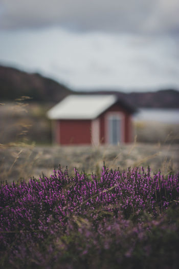 Purple flowering plants on field against wooden hut