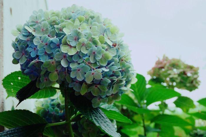 穏やかな時を .. EyeEm Nature Lover Nature On Your Doorstep Hydrangea Flowers Flower Collection 紫陽花 Blumen Leaves My World Fleurs