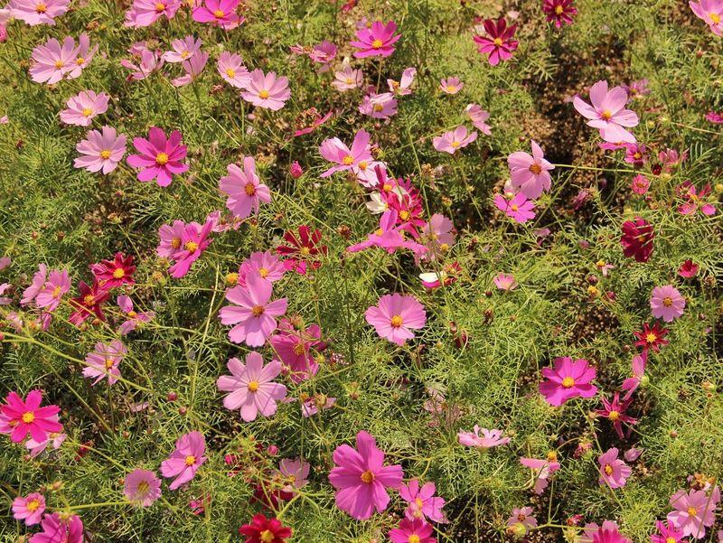 Autumn or spring | Awaji Yumebutai | Tadao Ando | Pink Color Pattern Growth Nature Flowers Beautifully Organized Japan Through My Eyes Fine Art Personal Perspective Beauty In Nature Awaji Island Japan|