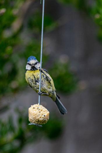 Urban wildlife with a bluetit, cyanistes caeruleus, perched on a garden feeder