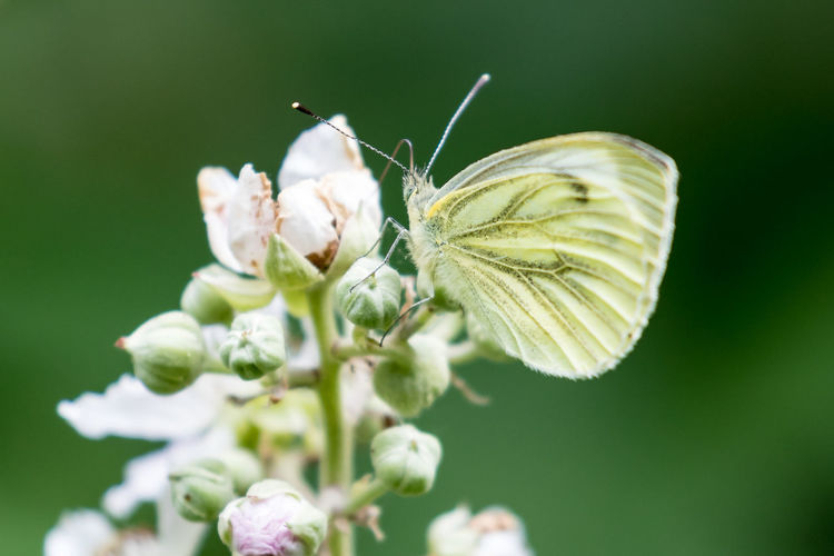 Macro shot of butterfly pollinating on flower