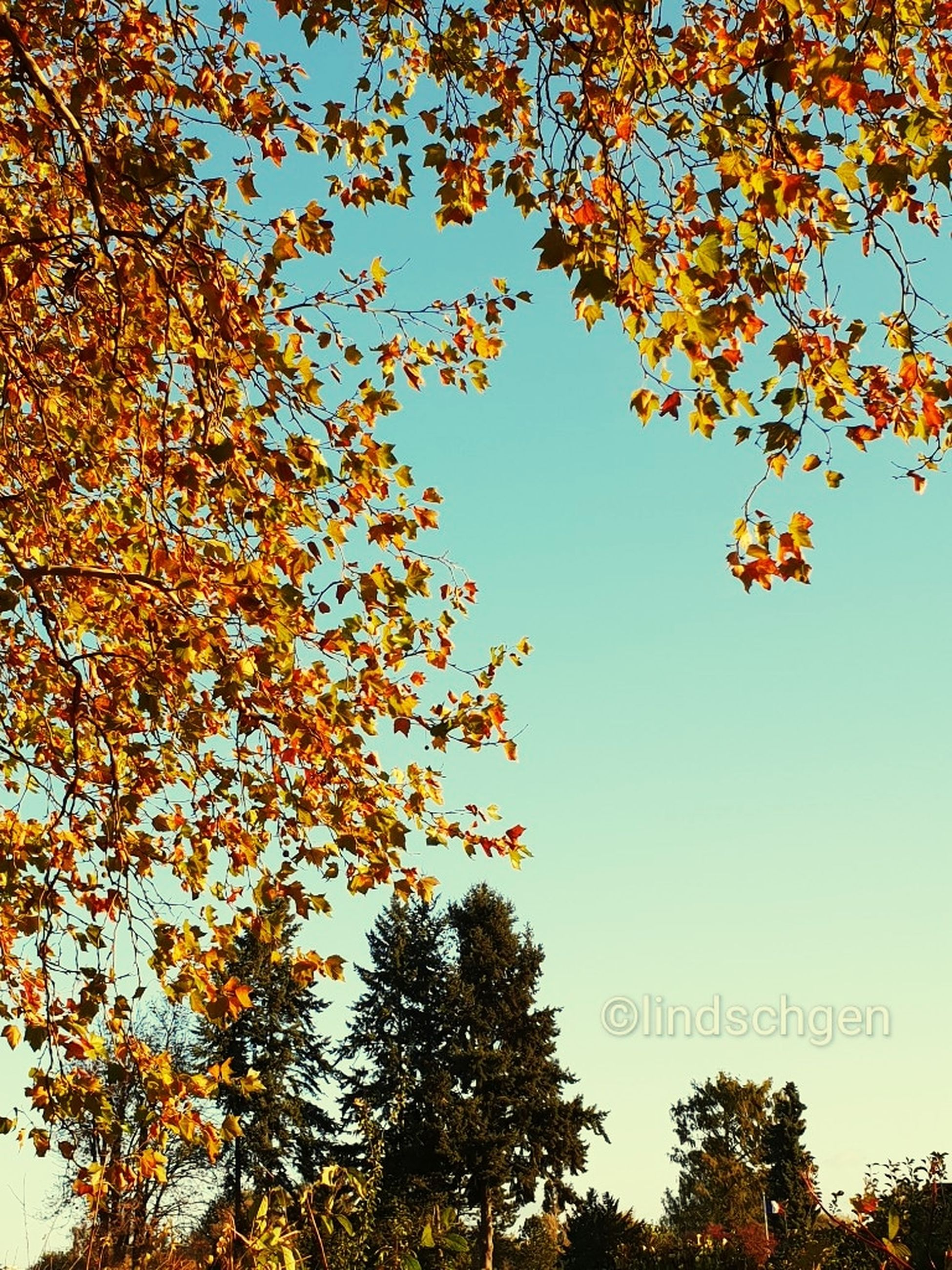 tree, sky, autumn, plant, low angle view, nature, leaf, plant part, beauty in nature, change, clear sky, growth, branch, day, no people, outdoors, tranquility, orange color, text, scenics - nature, leaves