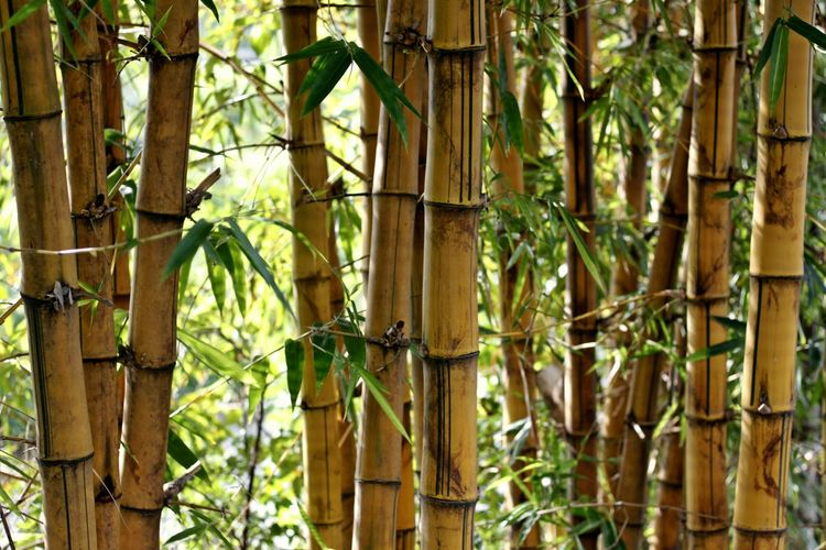 Backgrounds Bamboo - Plant Bamboo Grove Beauty In Nature Close-up Day Freshness Full Frame Green Color Growth Nature No People Outdoors Plant Tranquility Tree Yellow Bamboo