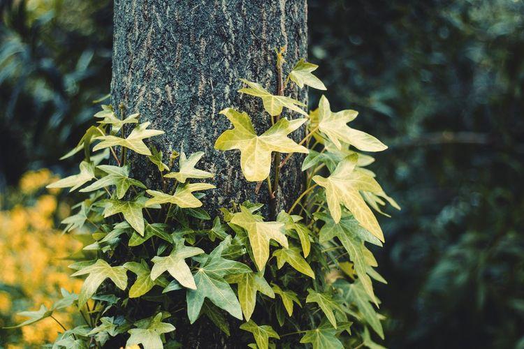 Hiedra Hiedra árbol Enredadera Trepadoras Natura Naturaleza Green Tree Plant Green Color