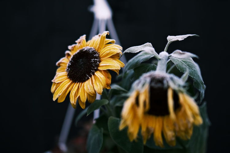 Close-up of wilted sunflower against black background