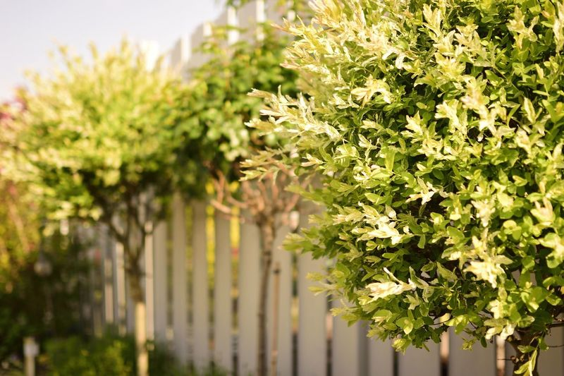 Green Tree Barrier Beauty In Nature Boundary Close-up Day Fence Flower Focus On Foreground Food Freshness Green Color Growth Hedge Leaf Nature No People Outdoors Plant Plant Part Selective Focus Sunlight Tree White