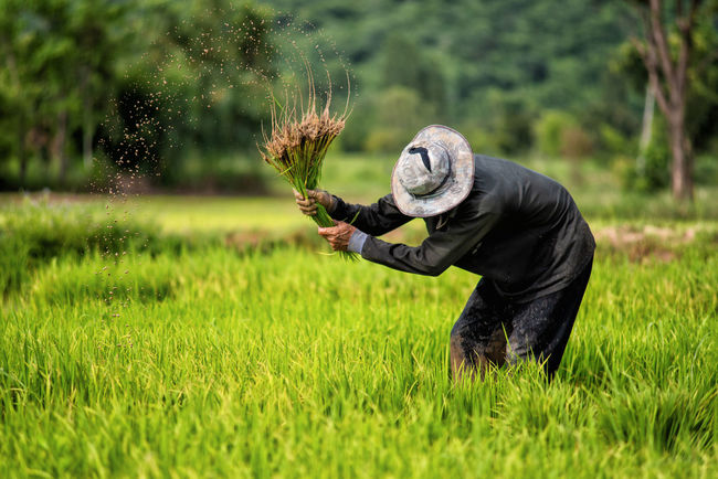 Agriculture Asian Culture Country Farmer Green Hard Work Nature Paddy Planting Rice Paddy Working Country Life Countryside Culture Farmer's Life Food Landscape Lifestyles Muddy Nature Paddy Field People Plant Rainy Season Rice Growth Summer Road Tripping