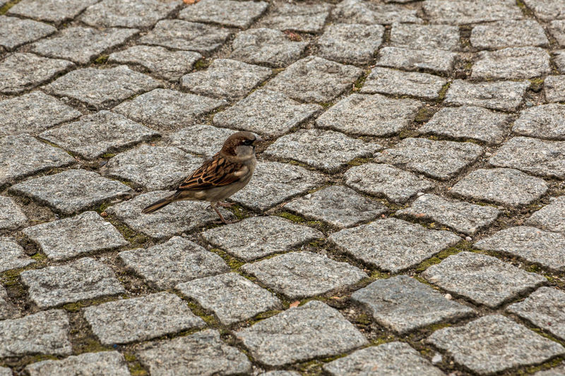 Brave little sparrow on the stony ground of the town Animal Themes Animal Animal Wildlife One Animal Bird Vertebrate Animals In The Wild Footpath Sparrow No People High Angle View Day Street Cobblestone Paving Stone Outdoors Stone Perching Nature Full Length