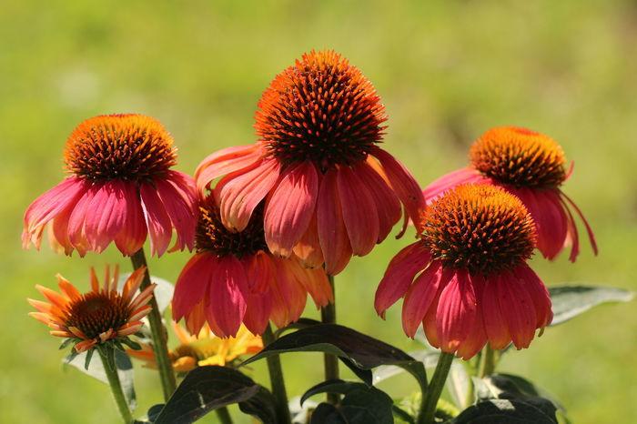 Es schauen die Blumen alle, zur leuchtenden Sonne hinauf; es nehmen die Ströme alle zum leuchtenden Meere den Lauf. Es flattern die Lieder alle zu meinem leuchtenden Lieb. Nehmt mit meine Tränen und Seufzer, ihr Lieder, wehmütig und trüb! (Heinrich Heine) Abundance Beauty In Nature Botany Exceptional Photographs EyeEm Best Shots EyeEm Macro EyeEm Masterclass EyeEm Nature Lover Flower Head Flowerphotography Flowerporn Flowers, Nature And Beauty Flowers,Plants & Garden Freshness Ladyphotographerofthemonth My Garden Is A Wonderland Nature Photography Naturelovers Natures Diversities Photopoetry Poetry In Pictures Power In Nature Sonnenhut Wald- Und Wiesenblumen