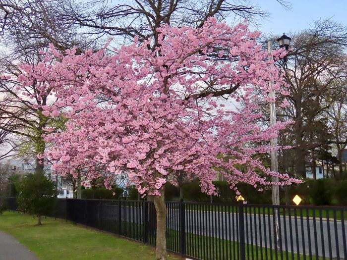 Landscape tranquil scene beauty in nature flowering tree metal fence grass outdoors beauty in nature Springtime Pink Color Cherry Blossom No People