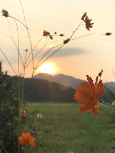 雨引山の夕暮れ風景 道端のキバナコスモスから雨引山を iPhone持ち出して撮影‥‥‥