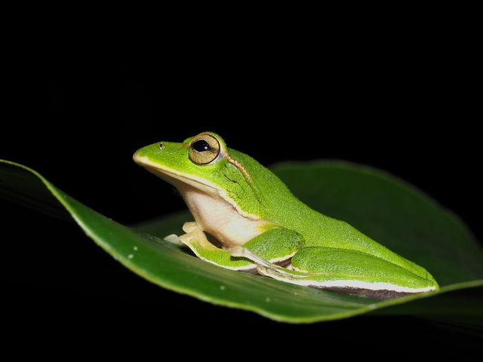 Close-up of frog on leaf against black background