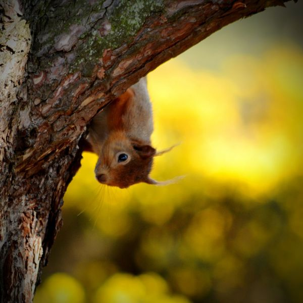 Redsquirrel Treetops Lossiemouth Scotland So Cute :) Mischievous Fluffytail Squirrel Closeup Wildlife Photography Nature The Essence Of Summer.