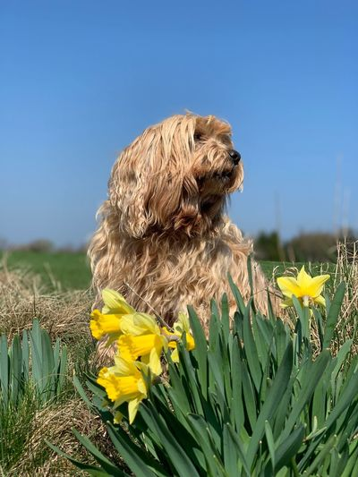 Close-up of dog on yellow flower against clear sky