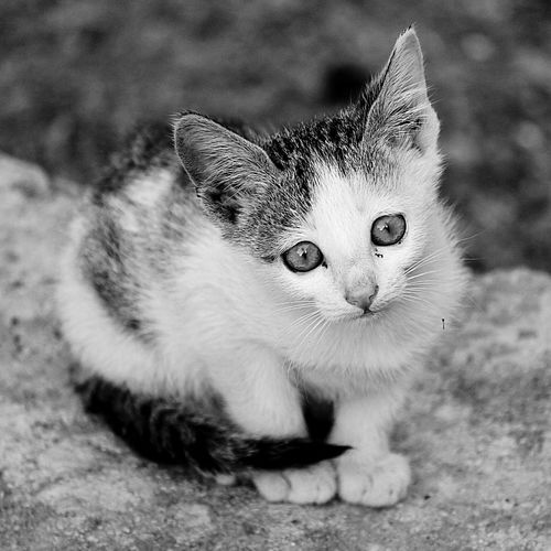 Domestic Cat Pets Domestic Animals One Animal Looking At Camera Animal Themes Feline Mammal Portrait Close-up No People Outdoors Yellow Eyes Day Black And White Friday