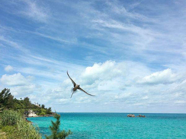 Longtail Bermuda Bermuda Longtails Longtail Bird Ocean Islandlife Tourquise Sea Blue Water Taking Photos Enjoying Life Perfect Day Showcase June