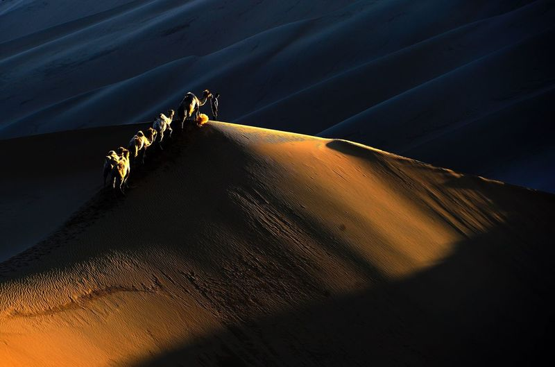 Silhouette man walking with bactrian camels at desert during sunset