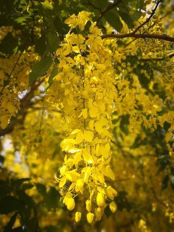 Flower Head Flower Tree Plant Part Yellow Branch Petal Blossom Leaf Close-up