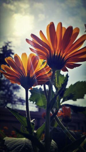 Flower Okara